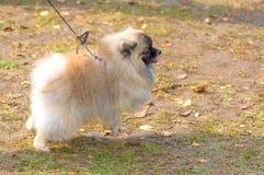 Spitz σκυλιών κινηματογράφηση σε πρώτο πλάνο Στοκ Εικόνες