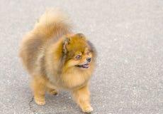 Spitz σκυλιών κινηματογράφηση σε πρώτο πλάνο Στοκ Φωτογραφία
