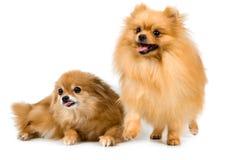 spitz σκυλιών στούντιο δύο Στοκ Εικόνες