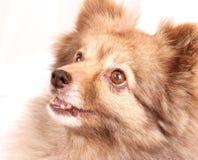 spitz портрета собаки стоковое изображение rf