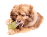 spitz портрета собаки стоковые фотографии rf