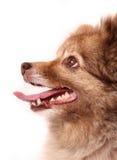spitz портрета собаки стоковое изображение