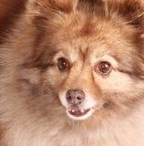 spitz портрета собаки стоковые изображения