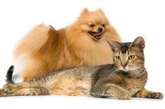 spitz собаки кота Стоковое фото RF