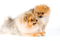 spitz 2 щенят собаки Стоковые Фото