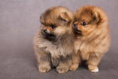 spitz 2 щенят собаки Стоковая Фотография RF