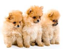 spitz 3 щенят собаки Стоковые Изображения RF