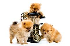 spitz 3 щенят собаки Стоковое Фото