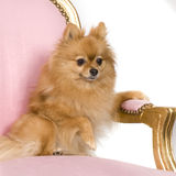 Spitz (6 years) Royalty Free Stock Photos