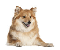 Spitz (6 years old) Stock Photography