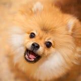 Spitz aggressivo del cane. immagine stock