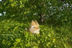 Spitz alemão no por do sol no verão Foto de Stock Royalty Free