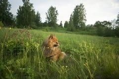 Spitz alemão no por do sol no verão Imagens de Stock Royalty Free