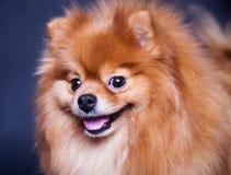 Spitz dog Stock Images