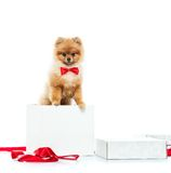 Spitz in box Royalty Free Stock Images