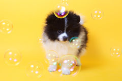Spitz and bubbles Stock Photography