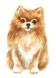Spitz-cão de Pomeranian Imagens de Stock Royalty Free