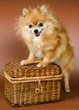 Spitz-cane con un cestino della rafia Immagini Stock Libere da Diritti