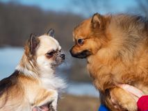 Spitz and Chihuahua dogs play with each other. Spitz and Chihuahua dogs play with each other royalty free stock photography