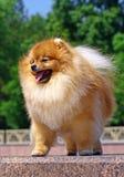 Spitz de Pomeranian Imagens de Stock Royalty Free