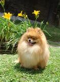 Spitz de Pomeranian Photo libre de droits