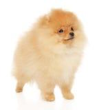 Spitz de Pomeranian Fotografia de Stock Royalty Free