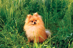 Spitz de Pomeranian Images libres de droits