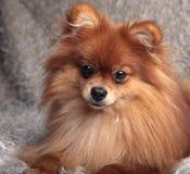 Spitz de Pomeranian Photographie stock
