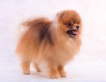 Spitz de Pomeranian Imagem de Stock
