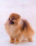 Spitz de Pomeranian Fotos de Stock