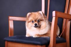 Spitz de Pomeranian Photo stock