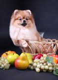 Spitz de Pomeranian Photo stock
