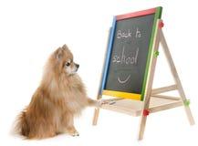 Spitz de Pomeranian dans le studio images stock