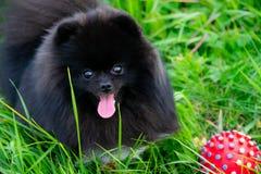 Spitz de Pomeranian do cachorrinho com seu proprietário que joga com a bola foto de stock royalty free