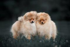 Spitz de Pomeranian de dois cães que joga junto fora no dia de verão ensolarado imagens de stock