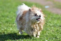 Spitz de Pomeranian humide images libres de droits
