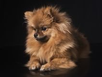 Spitz de Pomeranian no estúdio imagens de stock