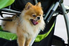 Spitz de race de Pomeranian de chien Image libre de droits