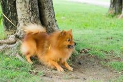 Spitz de race de Pomeranian de chien Photographie stock libre de droits