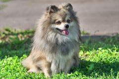 Pomeranian Pomeranian Sable Cream Screws in the Sun with His Lip. Spitz is a decorative breed of dogs. Spitz breeds of dogs, characterized by sharp ears royalty free stock image