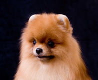Spitz di Pomeranian Immagini Stock