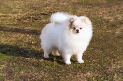 Spitz, direito de Pomeranian imagens de stock