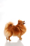 Spitz-dog. Poising on studio of a white background stock photos