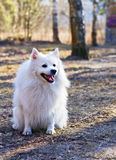 The spitz-dog Stock Photo