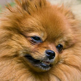 The spitz-dog. Portrait of brown Spitz dog Stock Images