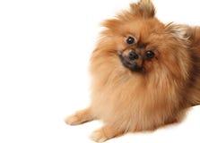 Spitz dog stock photos