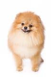 Spitz dog Royalty Free Stock Photo