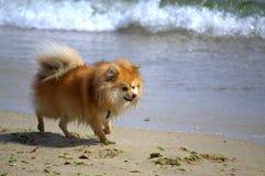 Spitz dog beach walk Royalty Free Stock Photos