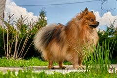 Spitz dog breed against the sky and nature stock image