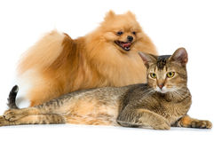 The spitz-dog and cat on Royalty Free Stock Photo